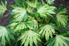 "Fatsia japonica 'Murakumo Nishiki' (Gathering Clouds Brocade Nishiki Tree Ivy) Zone: 7b to 10b, Height: 84"" tall Culture: Part Sun to Light Shade Origin: Japan - http://www.plantdelights.com"
