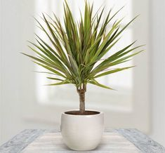 Houseplants That Can Survive Darkest Corner of Your House Dragon Tree - With stiff leaves this tree is attractive with colorful foliage. It needs low sunlight,when the leaves turn dry water it regularly. Inside Plants, Cool Plants, Green Plants, Tropical Plants, Air Plants, Best Indoor Plants, Indoor Garden, Balcony Garden, Plantas Indoor