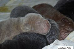 Shar-pei, wrinkles in all colors!!: chocolate,black,blue,Lila, and more :)