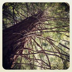 Parque de las #secuoyas #cantabria #igerscantabria #ig_cantabria #cantabriainfinita #spain #trees #tree_captures #arboles