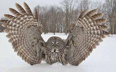Great Grey Owl by David Hemmings.