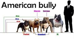 This is the American Bully and the different classifications. These dogs are NOT pit bulls. American Bully is it's own recognized breed. APBT is the only pit bull.