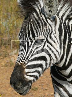Closeup of a zebras face