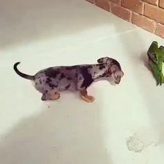 This will make your day! 🥰🐶 This will make your day! Dapple Dachshund, Funny Dachshund, Dachshund Puppies, Dachshund Love, Cute Dogs And Puppies, Dachshund Quotes, Funny Puppies, Daschund, Chihuahua Dogs