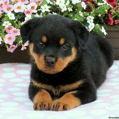https://www.pinterest.com/pin/find/?url=https%3A%2F%2Fwww.greenfieldpuppies.com%2Frottweiler-puppies-for-sale%2Fsabrina-1466562862-PUP%2F
