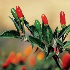David's Garden Seeds Pepper Hot Pequin D03196 (Red) 50 Open Pollinated Seeds