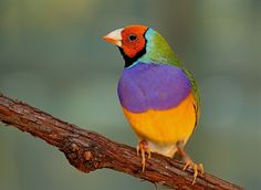 Gouldian Finch ~ such beautiful colors