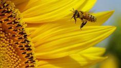 Imker Noël De Schrijver heeft bijen gekweekt die 100% resistent zijn tegen de varroamijt, de parasiet die een van de belangrijkste oorzaken van bijensterfte.