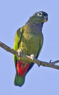 maitaca verde_pionus maximiliani Brazilian Birds
