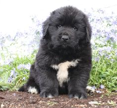 😍🌷Fluffy, fluffy goodness! This #Cuddly puppy is just a little fur ball of love! Sport is a #Sweet #Newfoundland puppy playtime is one of his favorites so you will never be bored! #Charming #PinterestPuppies #PuppiesOfPinterest #Puppy #Puppies #Pups #Pup #Funloving #Sweet #PuppyLove #Cute #Cuddly #Adorable #ForTheLoveOfADog #MansBestFriend #Animals #Dog #Pet #Pets #ChildrenFriendly #PuppyandChildren #ChildandPuppy #BuckeyePuppies www.BuckeyePuppies.com Newfoundland Puppies, Lancaster Puppies, Animals Dog, Puppies For Sale, Mans Best Friend, Puppy Love, Labrador Retriever, Fur, Sport