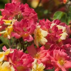 Climbing Masquerade has small semi double pink, red and yellow flowers.   Repeat flowerer and highly fragranced.  Climbing roses are ideal for using to cover a bare wall or fence, to train up and over an arch, or to cover an obelisk.  Allow 2m between each plant, and take care to train the canes in the directio...