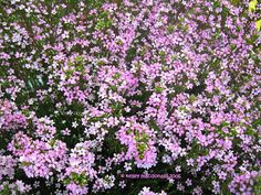 Pink Breath of Heaven (Coleonema pulchrum), evergreen, to 5 ft., pink star-shaped flowers in winter and spring, sun to part shade