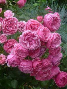 Kordes roses Pomponella