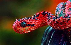 """reptiglo: """" howtohavegaysubtext: """" """" """" Indonesian Autumn Adder """" """" There's no such thing as an Indonesian Autumn Adder. What fuck. This is a Hairy Bush Viper (Atheris hispida) which is found in Central Africa and here's the iStock page of the. Like Animals, Nature Animals, Animals And Pets, Funny Animals, Beautiful Creatures, Animals Beautiful, Majestic Animals, Les Reptiles, Reptiles And Amphibians"""