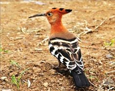 Hoopoe on Soysambu Conservancy. on your kenya birding safaris.www.steps adventures.com