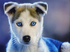 Husky Eyes - I'm in love with this picture - one of the best husky photos ever.