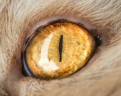 Fotógrafo faz fotos em close-up de olhos de gatos, por Andrew Marttila. (3)