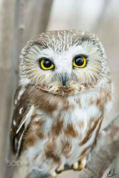 Magical The Best Owl Pictures That . - Magical The best owl pictures you& ever see - Owl Photos, Owl Pictures, Beautiful Owl, Animals Beautiful, Owl Bird, Pet Birds, Animals Tattoo, Saw Whet Owl, Funny Owls