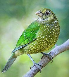 Green Catbird, Ailuroedus crassirostris Australia's subtropical east coast.