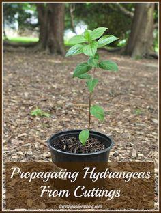 propagating hydrangeas from cuttings, flowers, gardening, hydrangea, Ready to transplant into the garden