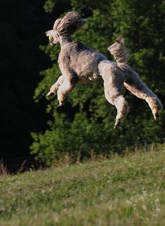 Happy, The Flying Poodle...I have a photo of Jack doing the same thing!  Go Spoos!
