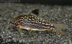 PlanetCatfish.com - Corydoras napoensis
