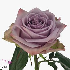 Armando Roses are deep lilac & usually available all year round. 70cm stem lengths this wholesale cut flower is wholesaled in 20 stem wraps.