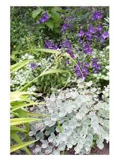 Minnesota shade garden :: Use plants with similar foliage to create harmony in the landscape. One stunning example in Jane's garden is 'White Nancy' lamium and Sedum sieboldii, both of which have silvery leaves. The pair is set off by rich purple angelonia, an annual that blooms profusely all summer long, even in part shade.