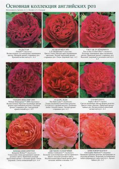 English Rose Main Collection