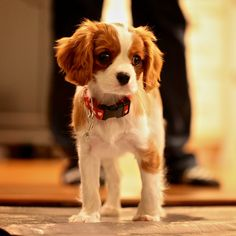 Cavalier King Charles Spaniel Dog Photography Puppy Hounds Chiens Puppies Cavie CKCS