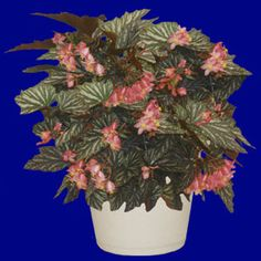 Lana Angel Wing Begonia      Mature Height: 18-24 inches     Mature Spread: 18-24 inches Hardy in Zones 9-11 http://www.gardenharvestsupply.com/productcart/pc/lana-begonia-plant-p4844.htm