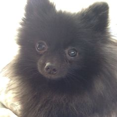 Black pomeranian( its skittles!!))