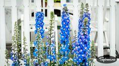 H-sone-systemet er et nyttig hjelpemiddel for at du skal unngå å kjøpe planter som ikke er hardføre nok til å trives i din hage. Men hva betyr egentlig H-sone? Vi forklarer. H-soner, herdighetssoner, hardførhetssoner, klimasoner – det brukes flere begreper men det betyr det samme. Flerårige planter som selges i norske hagesentre skal være merket …