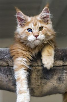 If you're looking for Free Maine Coon Kittens for adoption we've written some tips on how to find Free Maine Coon Cats and where to look for them. Pretty Cats, Beautiful Cats, Animals Beautiful, Cute Animals, Pretty Kitty, Pretty Animals, Cute Cats And Kittens, Cool Cats, Kittens Cutest