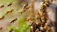 Znalezione obrazy dla zapytania pszczoły