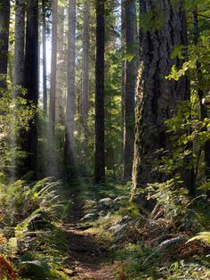 """Oregon, east, path through old growth forest in Big Tree Park in the Siskiyou National Forest.Big Tree Park, so named because of the number of giant conifers including Myrtle, Douglas Fir and Western Hemlock and the """"Big Tree"""". Said to be the largest Port Orford Cedar in the World, it stands at 219 feet tall and is over 12 feet in diameter. The park trail winds its way through groves of these amazing old growth forests."""