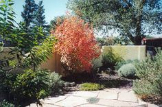 Bigtooth Maple-native to the southwest | Beautiful color addition - small tree | low water needs | Colorado Xeriscape