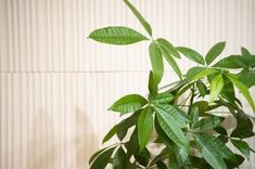 Propagation, Cuttings, Spider Mites, Money Trees, Neem Oil, Houseplants, Roots, Plant Leaves, Healthy