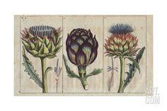 Globe Artichoke in Full Bloom, Cynara Cardunculus Giclee Print at Art.com
