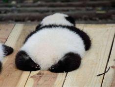 Ohhh, diese Beute & 😍😍 Weitere Pandas hier klicken here @ pandacity. The Animals, Cute Little Animals, Fluffy Animals, Cute Funny Animals, Cute Dogs, Cute Babies, Wild Animals, Pandas Baby, Cute Panda Baby