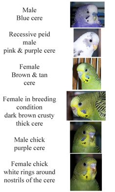 bird budgie parakeet gender Click to view original
