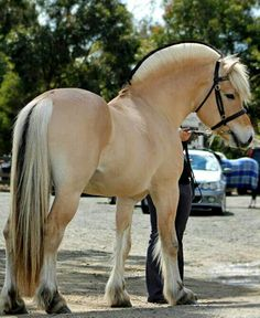 BEAUTIFUL FJORD HORSE  - MaLak - Google+