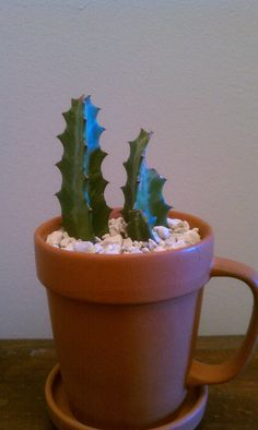 browse plants for sale in our etsy shop #cactus #candelabra #euphorbia #garden #green #nature #southwest #desert #pottery  #Etsy