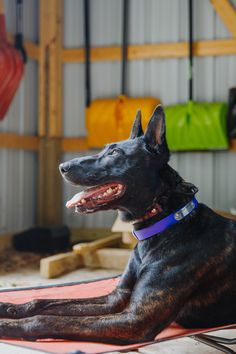 Todays #tonguesouttuesday is brought to us by Ozark from @midwestcanines, modeling our Waterproof Soft Grip Collar with Personalized Nameplate in Blue. 😍 Blue Blaze, Personalized Dog Collars, Dog Safety, Dog Id, Purple Teal, Nameplate, Dog Names, Dog Leash