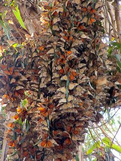 butterflies who have migrated to California and who cluster together to stay warm. pretty amazing...