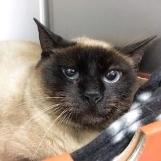 Francine is a 2yr. old female Siamese mix. She was found as a stray & is very very shy. It would be in her best interest to adopt another cat with her. Francine is available at Town of Hempstead Animal Shelter,Wantagh,NY.