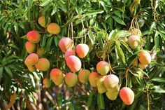 Learn how to grow a mango tree in a container in this article. Growing mango tree in pot is possible; there are several dwarf varieties available that can be tried.