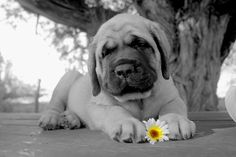 Look at that tiny monster!  I want one so bad!    English Mastiff Puppy 6 weeks old by Jeanne Nations