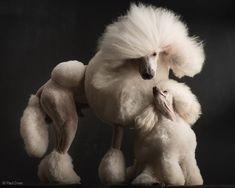 Some day I WILL have a white poodle!