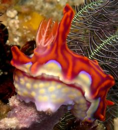 The Sea Slug Forum - Ceratosoma flavicostatum
